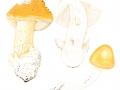 Amanita subnudipes (Romagn.) Tull, , Weißstieliger Safranstreifling, Weißstieliger Safran-Scheidenstreifling
