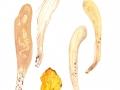 Clavariadelphus pistillaris (L.: Fr.) Donk , Herkuleskeule