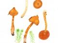 Cortinarius (Lepr.) rubellus Cooke , Spitzgebuckelter Raukopf, Spitzgebuckelter Orangeschleierling