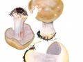 Cortinarius (Phleg.) glaucopus Hry. , Reihiger Klumpfuß