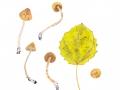 Cortinarius spec. 12