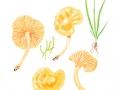 Cuphophyllus pratensis (Pers.: Fr.) Bon , Wiesen-Ellerling
