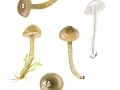 Gliophorus irrigatus (Pers.: Fr.) A.M. Ainsw. & P.M. Kirk , Grauer Saftling