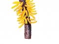 Gymnosporangium clavariiforme  (Wulfen) DC , Großer Weißdorn-Gitterrost