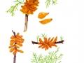 Gymnosporangium sabinae G. Winter , Birnengitterrost