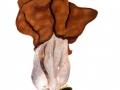 Gyromitra infula (Schaeff.: Fr.) Quél. , Bischofsmütze