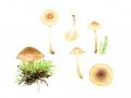 Hebeloma hygrophilum Poumarat & Corriol , Nordischer Weiden-Fälbling