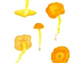 Hygrocybe reidii 2  Kühner , Honig-Saftling