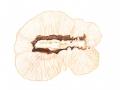 Lenzites betulina  (L.: Fr.) Fr. , Birkenblättling, Birkentramete , Birken-Blätterporling2