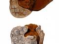 Mycenastrum corium 2 (Guers.) Desv. , Sternstäubling