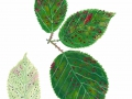 Phragmidium violaceum (Schultz) Brockm. , Brombeer-Rost