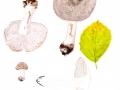 Tricholoma orirubens Quél. s.l. , Rötender Erd-Ritterling , Rötender Schuppen-Ritterling