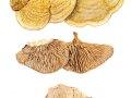 Daedalea quercina (L.: Fr.) Pers. , Eichenwirrling