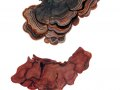 Hymenochaete rubiginosa (Dicks.: Fr.) Lèv. , Rotbrauner Borstenscheibling