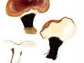 Polyporus badius (Pers.) Schwein. , Kastanienbrauner Schwarzfuß-Porling , Schwarzroter Stielporling , Süßriechender Stielporling