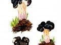 Pseudorhizina sphaerospora (Peck) Pouzar , 2 , Rundsporige Lorchel , Nadelholz-Scheinlorchel , Rundsporige Nadelholz-Scheinlorchel