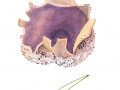 Sarcosphaera coronaria (Jacq.: Cooke) Schröt., 2 , Violetter Kronenbecherling , Kronenbecherling