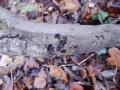 Encoelia fascicularis (Alb. & Schwein.: Fr.) Karst., Schwarzbrauner Pappelbecherling (2)