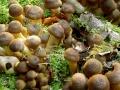 Armillaria mellea , Honiggelber Hallimasch