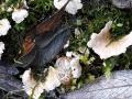 Arrhenia retiruga (Bull.: Fr.) Redhead , Blasser Adernmoosling, Netziggerunzelter Adernmoosling