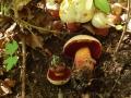 Boletus rhodoxanthus, Blasshütiger Purpur-Röhrling