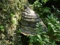 Fomitopsis pinicola, Rotrandiger Baumschwamm