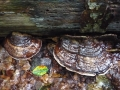 Ganoderma applanatum (Pers.) Pat. , Flacher Lackporling (2)
