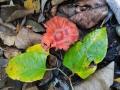 Leratiomyces ceres (Cooke & Massee) Spooner & Bridge ,  Orangeroter Träuschling