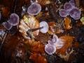 Mycena pura, Rettich-Helmling