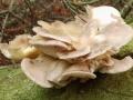 Pleurotus pulmonarius  (Fr.) Quél. , Löffelstieliger Seitling, Sommer-Seitling, Lungen-Seitling